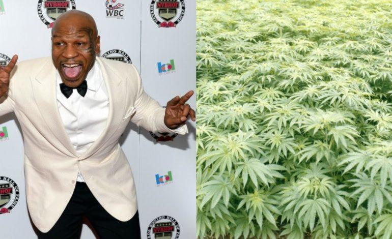 """Tregtia e marijuanës """"kap"""" një tjetër legjendë botërore. Mike Tyson drejt kultivimit të saj"""