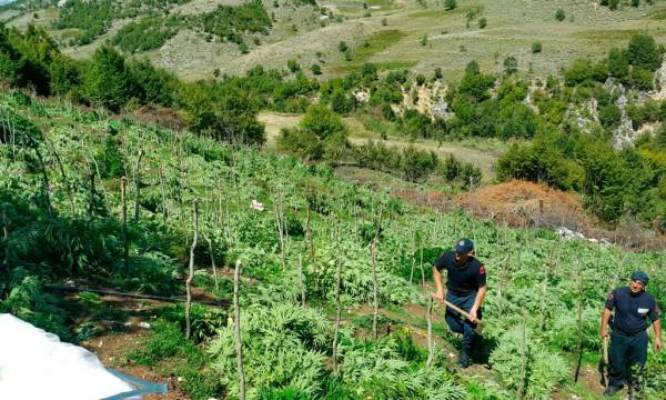 """""""Euronews"""": Qeveria shqiptare ka sekuestruar qindra ton drogë dhe shkatërruar miliona rrënjë kanabis"""