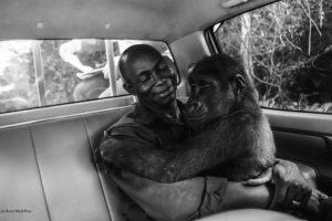 FOTOGRAFIA E VITIT/ Gorilla e vogël hidhet në krahët e shpëtimtarit të saj