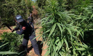 Po kontrollonte për kultivim kanabisi në Vlorë/ Rrëzohet nga 200 metër lartësi efektivi i policisë ...