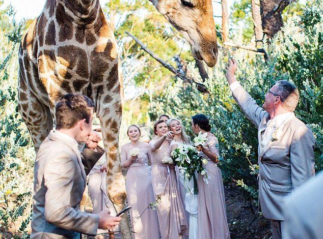 """U BEFASUAM/ Gjirafa shkon në dasmë """"paftuar"""" (FOTO)"""
