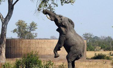 Elefanti që mendon se është gjirafë, noçka e tij zgjatet drejt...