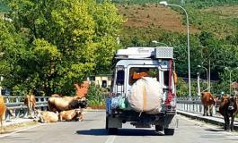 Përshëndetje nga Tropoja! Aty ku lopët... (FOTO)