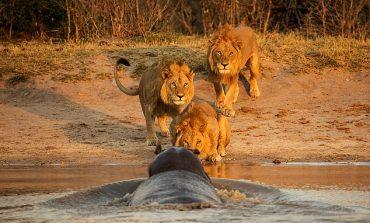 """""""ZOTËRIM TERRITORI""""/ Hipopotami gjigand del nga uji, luanët...  (FOTOT)"""