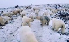 """SHPALLET GJENDJA EMERGJENTE/ Arinjtë polarë """"pushtojnë"""" ishujt ruse"""