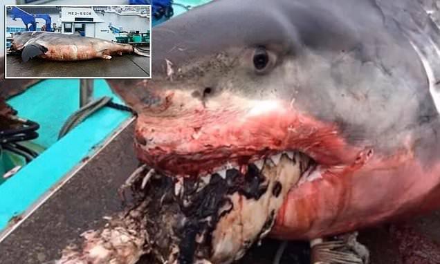 PAMJET U BËNË VIRALE/ Kur një peshkaqen 2 ton mbytet nga breshka gjigande