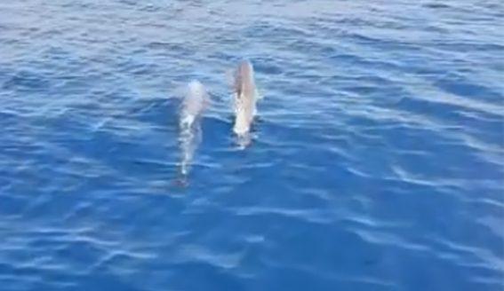E RRALLË NË QERRET/ Delfinët dhurojnë spektakël për pushuesit (VIDEO)