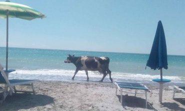 SEZONI I VERËS/ Kur bashkë me diellin në plazh, kënaqësh edhe me... lopën!