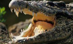 SHOKUESE/ Krokodili ha të gjallë 10-vjeçarin në sy të dy vëllezërve