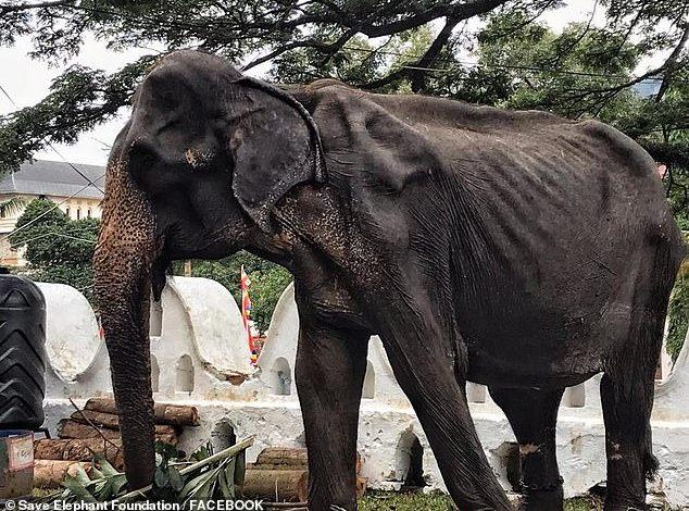 PAMJET E FRIKSHME/ Shihni elefanten 70-vjeçare kockë e lëkurë