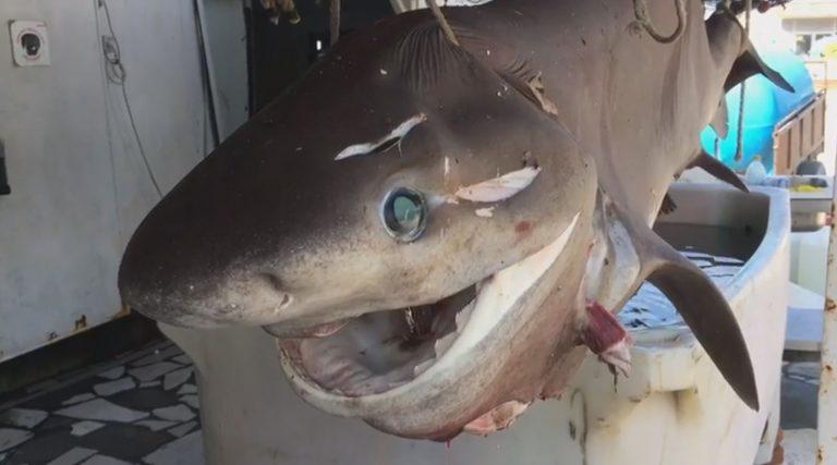 """NUK ËSHTË I RRITUR…/ Kapet peshkaqeni """"gjigand"""" ne Vlore (FOTOT)"""