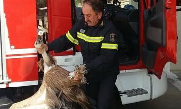 E RRALLË/ Zogu ia fut me kokë autobusit, përfundon tek veterineri