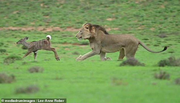 VIDEO QË TË THYEN ZEMRËN/ 20 minuta ndjekje, luani dhe luanesha shqyejnë antilopën e vogël