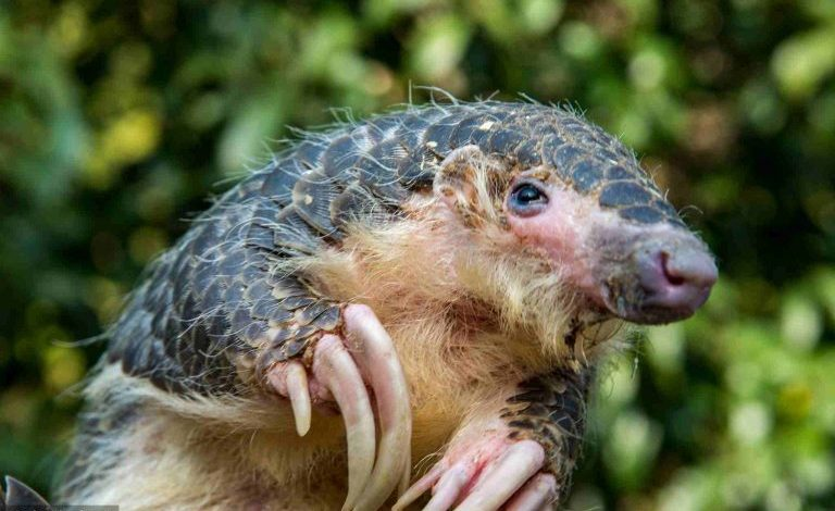 STUDIMI/ Zbulohet kafsha misterioze që mbart koronavirusin