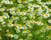 MOS I NËNVLERËSONI/ Këto bimë mjekësore largojnë ankthin dhe stresin