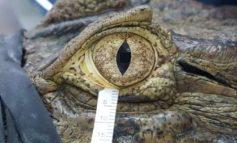 """STUDIMI I RI/ Pse """"lotët e krokodilit"""" janë çuditërisht të ngjashme me ato njerëzore"""