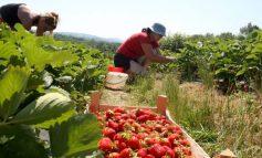 SHTYHET ME 90 DITË LEJA E QËNDRIMIT/ Greqia jep lajmin e mirë për punëtorët sezonalë
