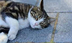 E PAZAKONTË/ Rasti i parë, macja rezulton pozitive me COVID-19
