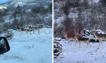 FOTOLAJM/ Përveç dëborës edhe drerët dhurojnë pamje fantastike në Dardhë