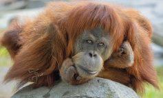 NIS VAKSINIMI TEK ORGANIZMAT JONJERËZORË/ 9 majmunë marrin dozat në një kopsht zoologjik në Kaliforni