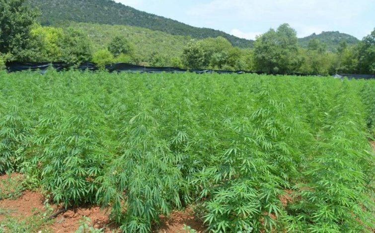 SHTATË PLANTACIONE ME MARJIUANË/ Kapen 3 mijë e 700 rrënjë afër Podgoricës në Mal të Zi