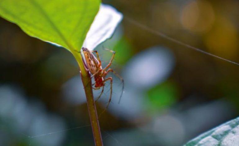 STUDIMI BEFASUES/ Helmi i merimangës riparon dëmet që i shkakton zemrës një atak kardiak